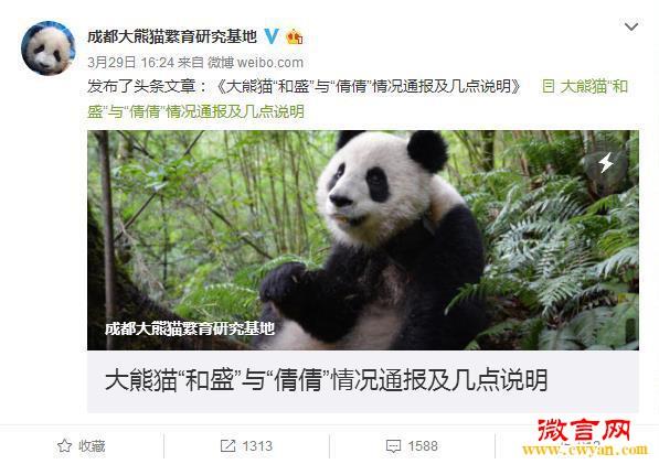 成都大熊猫繁育研究基地官微截图。 大熊猫和盛与倩倩的情况通报: 开展人工圈养大熊猫野放研究是中国政府保护大熊猫、实现大熊猫最终能放归野外的一项科学的、复杂的系统性工作。 首先,野生动物放归的最终目标是建立能自我维持的野生种群,如果以不少于500只个体作为可持续生存野生种群的标准,那么,仅约11% 的物种放归项目达到了这一目标。由于动物在复杂的野外环境里要采取一定的生存策略,因此,通常情况下,放归野外的圈养动物成功率很低。 其次,就放归方式来讲,根据IUCN(世界自然保护联盟)(IUCNSSC,20